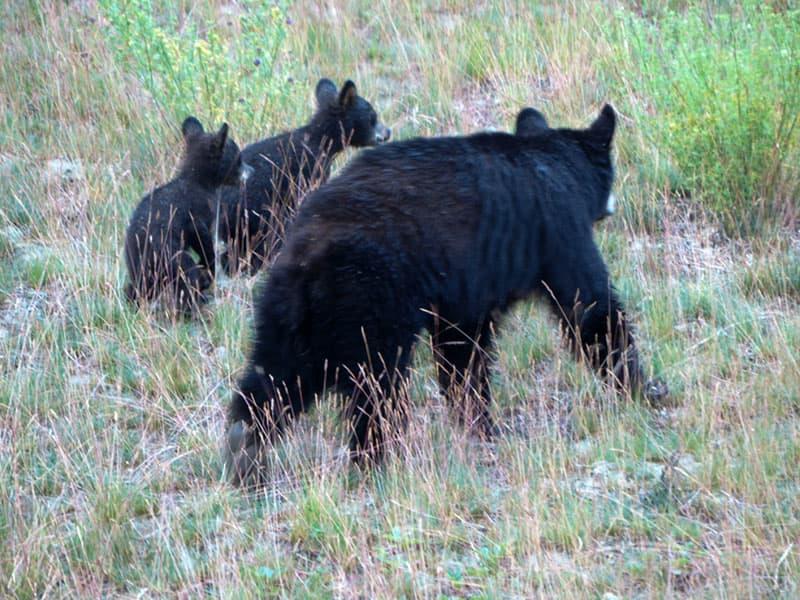 Mamma and baby bears