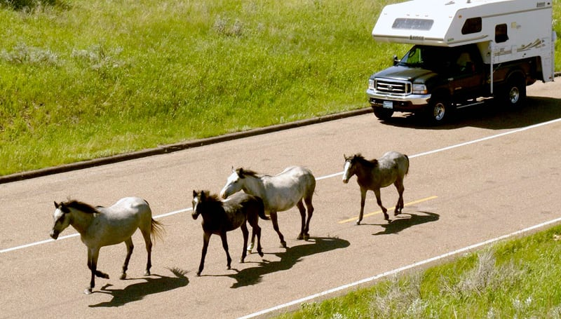 Horses Running Theodore Roosevelt NP