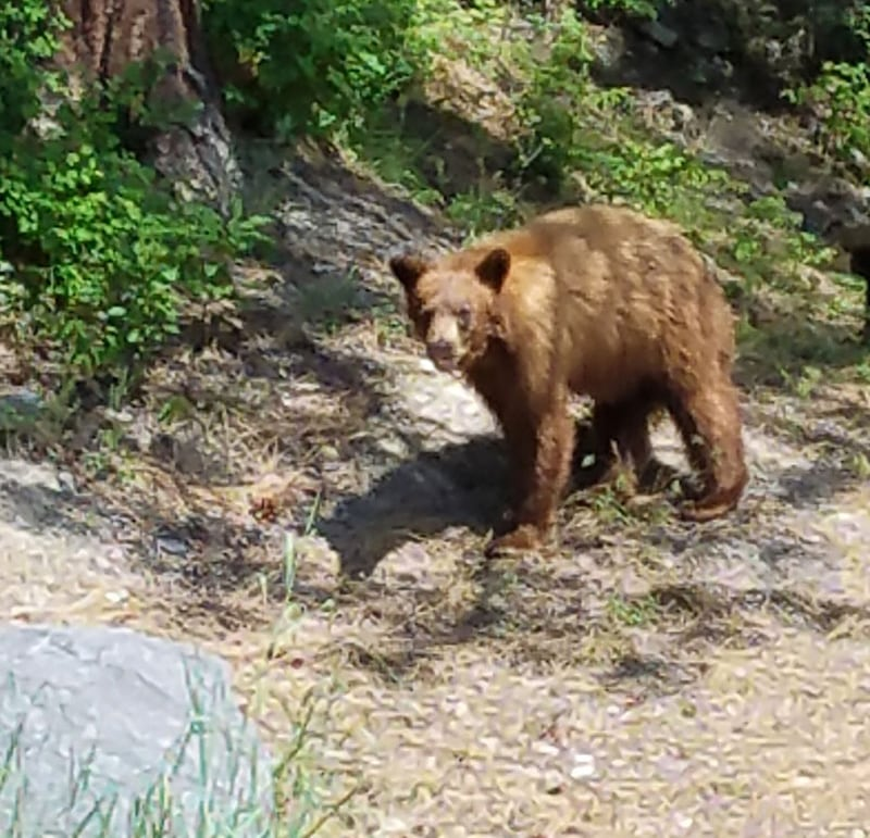 Bear That Joan Thompson Saw