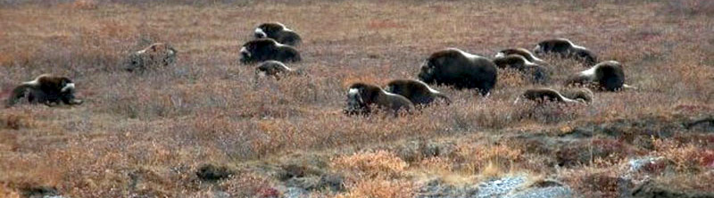 Small Herd Of Muskox Along The Dalton Highway
