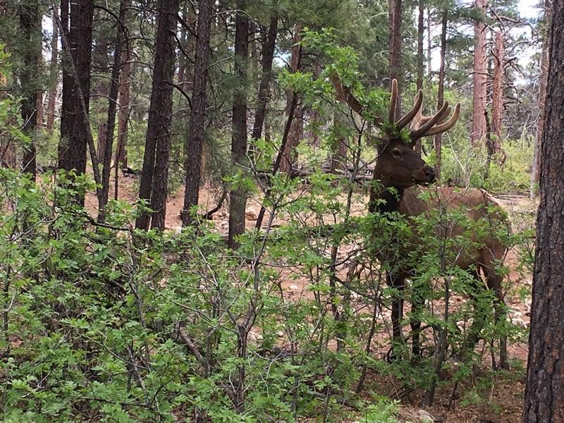 South Rim Elk Sighting
