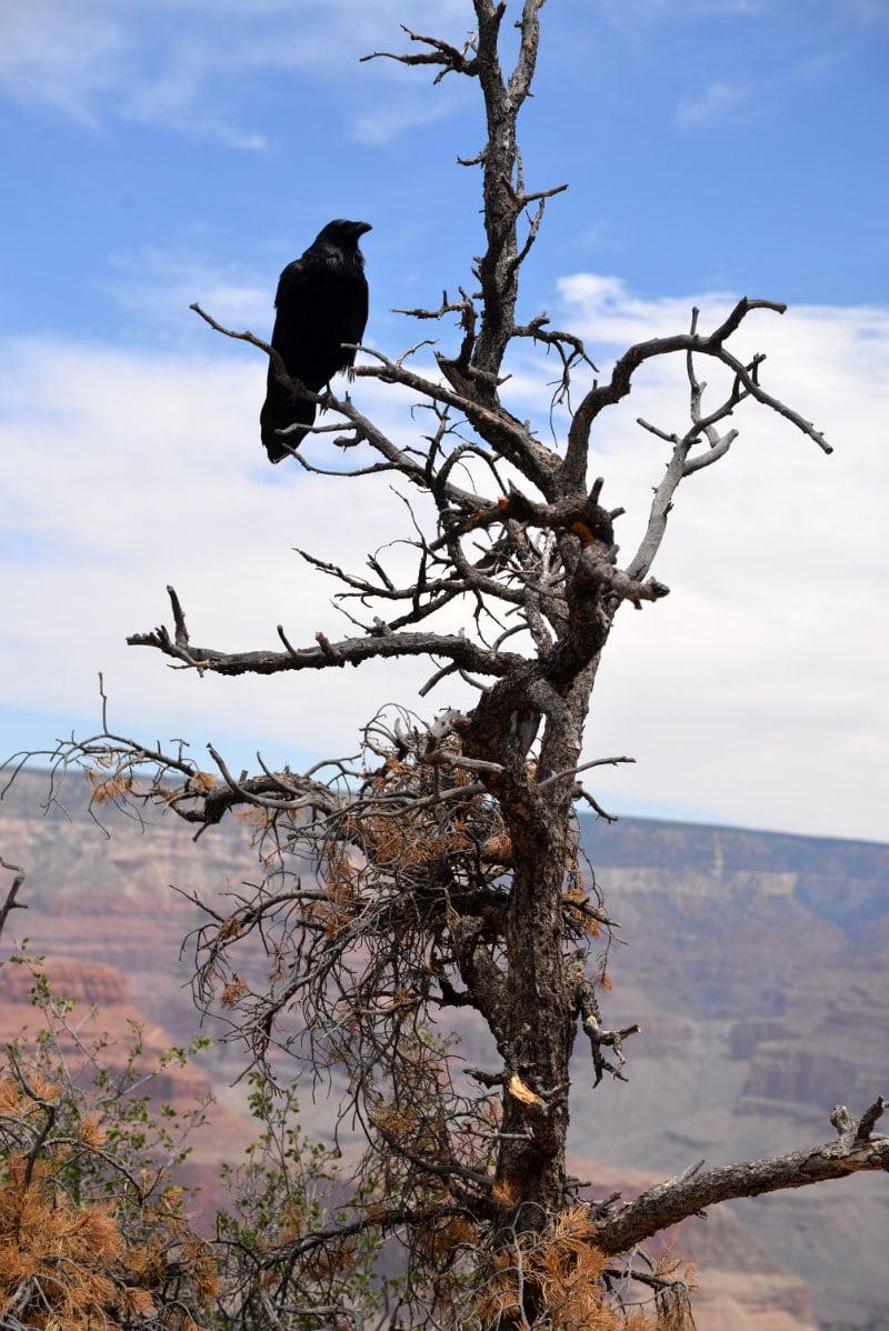 South Rim Raven