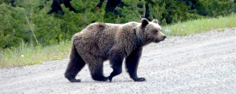 Grizzly Bear Provincial Route BC 20