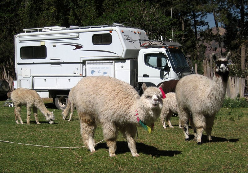 Llamas In The Campground Cusco Peru