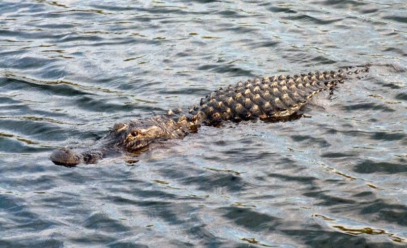 Alligators Everglades National Park Everywhere