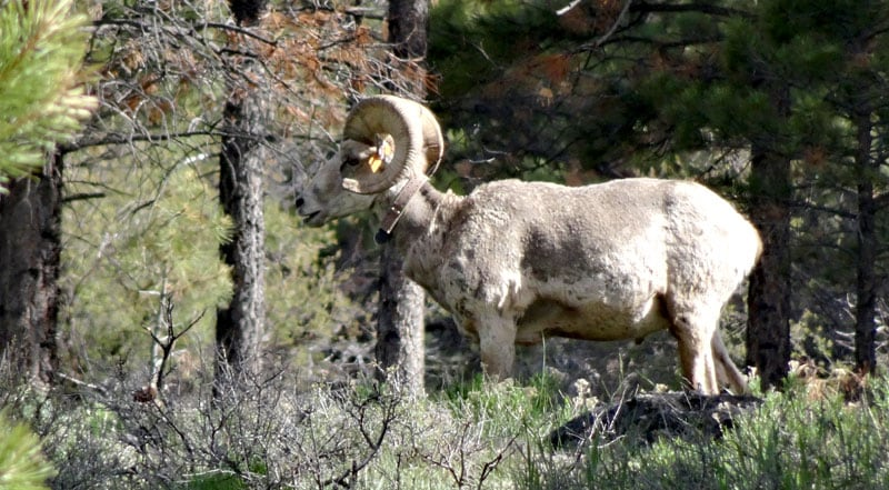 Bighorn Sheep in Red Canyon