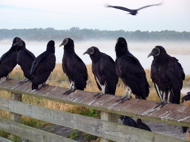 Buzzards On The Fence Post Myakka