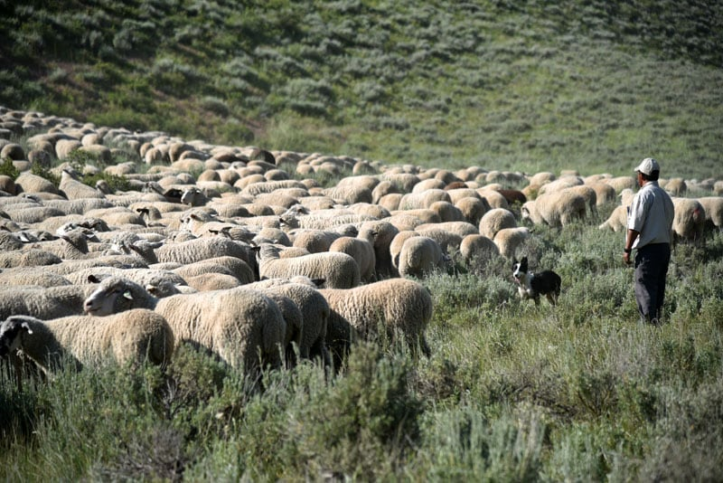 Idaho National Forest Sheep Herder