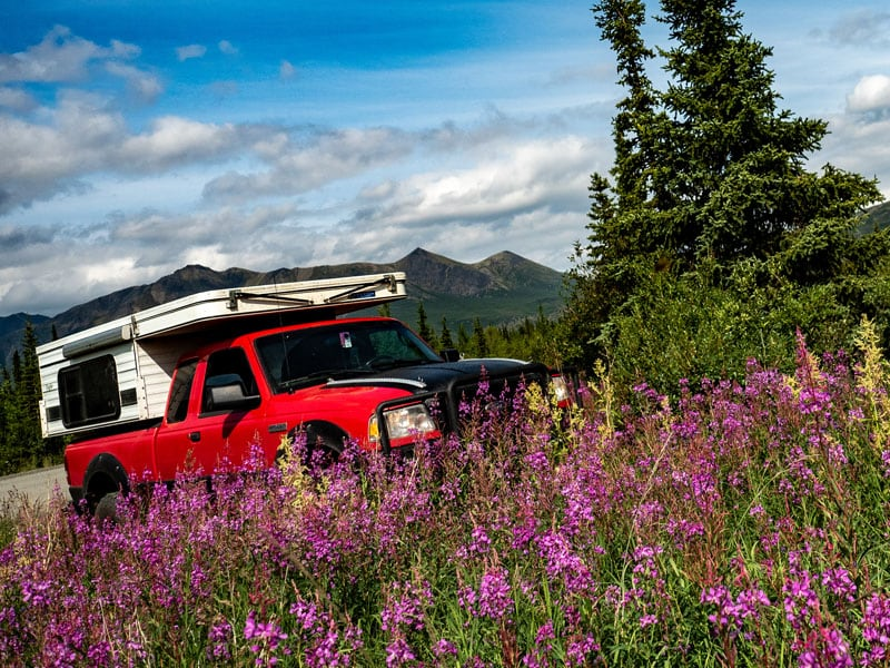 Roaming Ranger In Amongst Fireweed