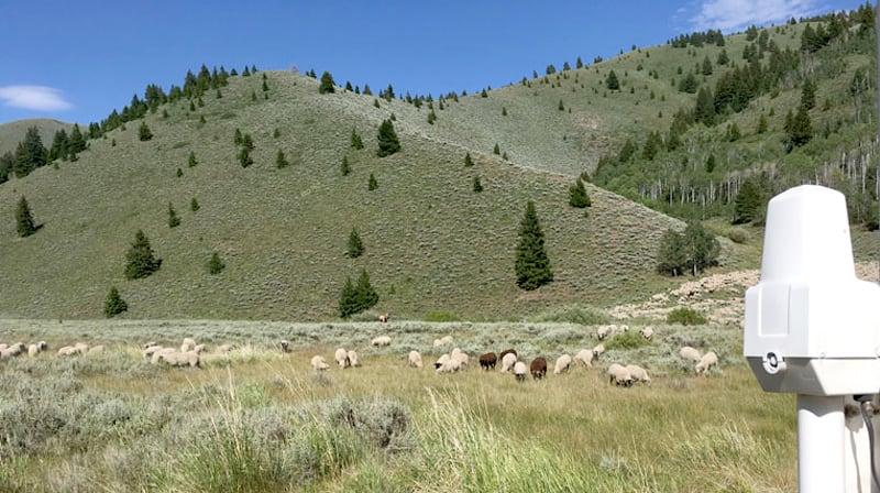 Sheep Near Camper Idaho