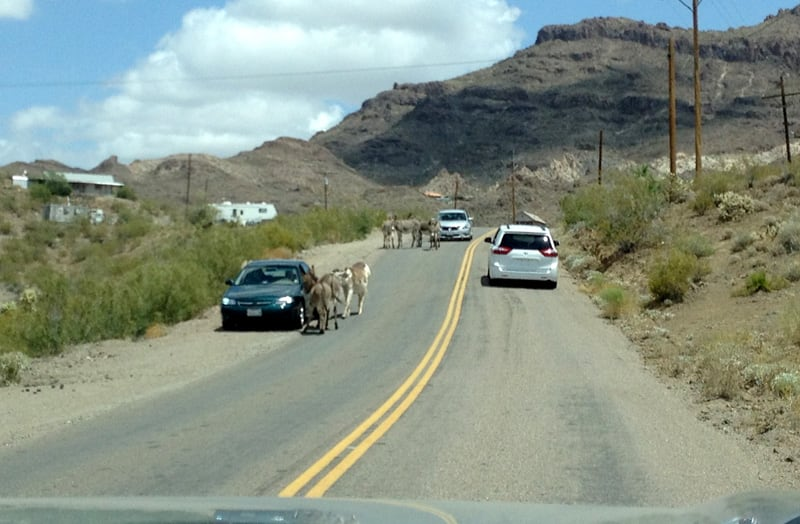 Burros Looking For Handouts And Blocking The Roads As You Approach Oatman Arizona