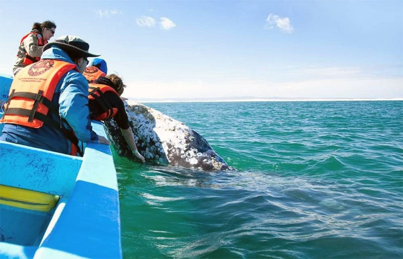 Gray Whales In Baja
