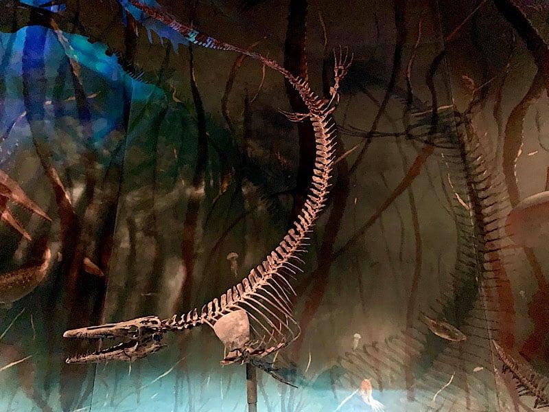 Museum Of Palaeontology Mosasaur