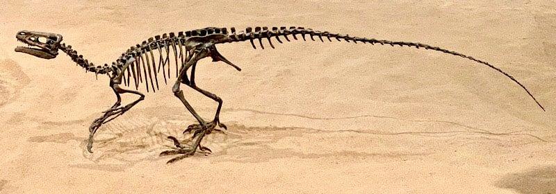 Museum Of Palaeontology Ornitholestes Sp