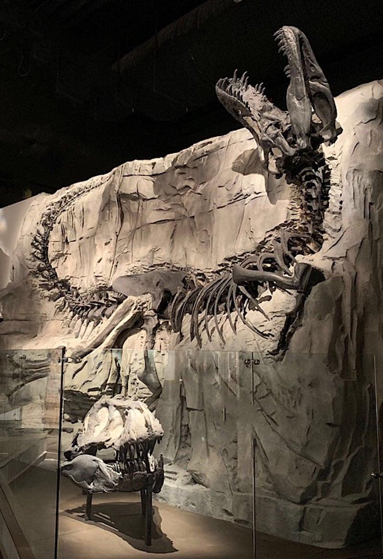 Royal Tyrrell Black Beauty A Tyrannosaurus Rex