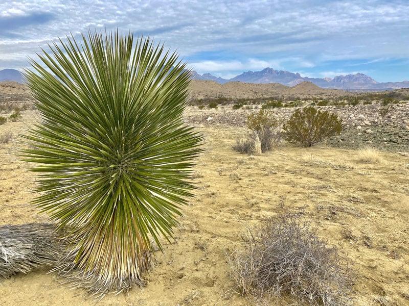 Desert Flora Big Bend