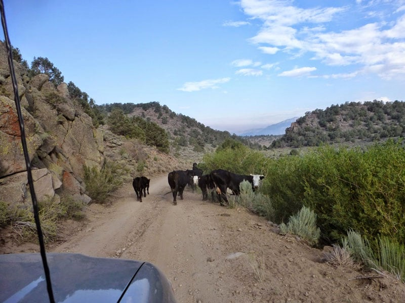 Cows Driving Into Bodie