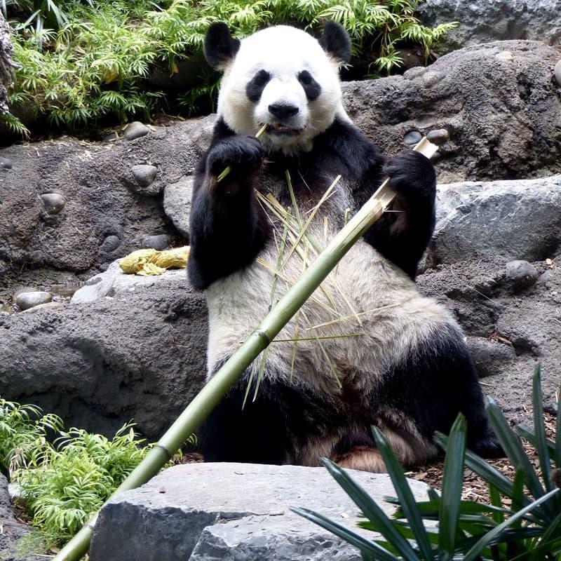 Calgary Zoo Pandas And Cubs
