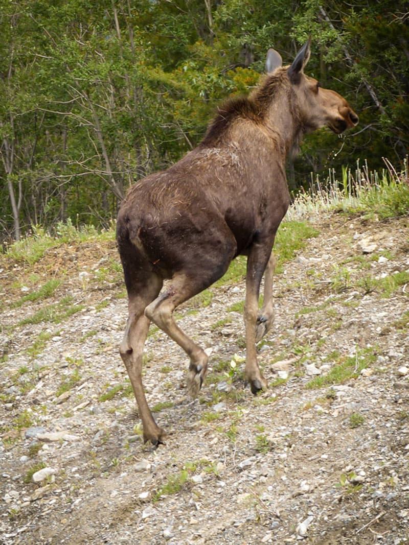 moose sightings in British Columbia