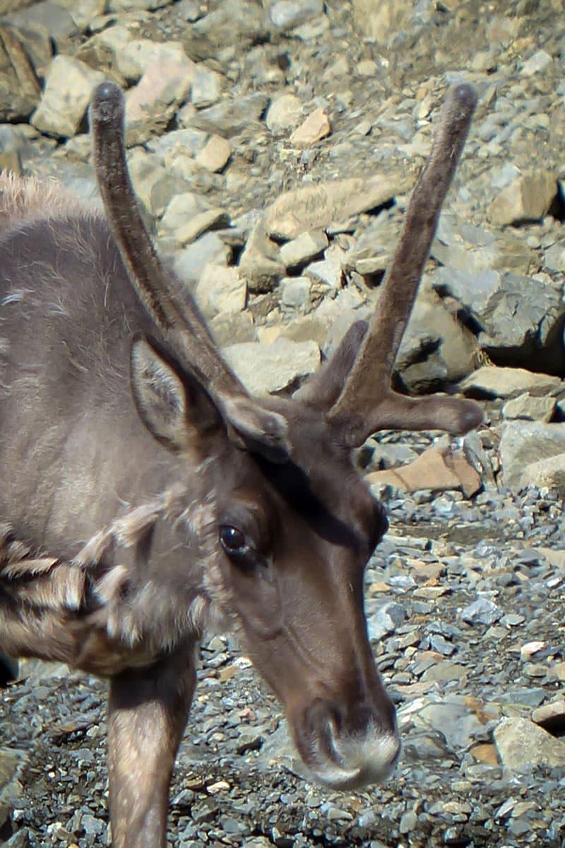 Denali Caribou drinking