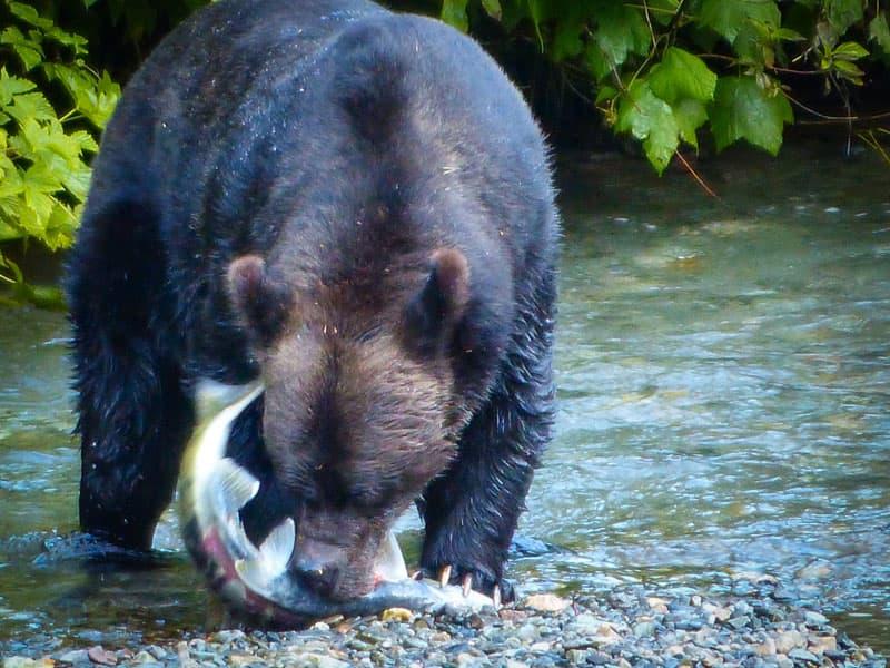 Bear eating salmon in Hyder, Alaska