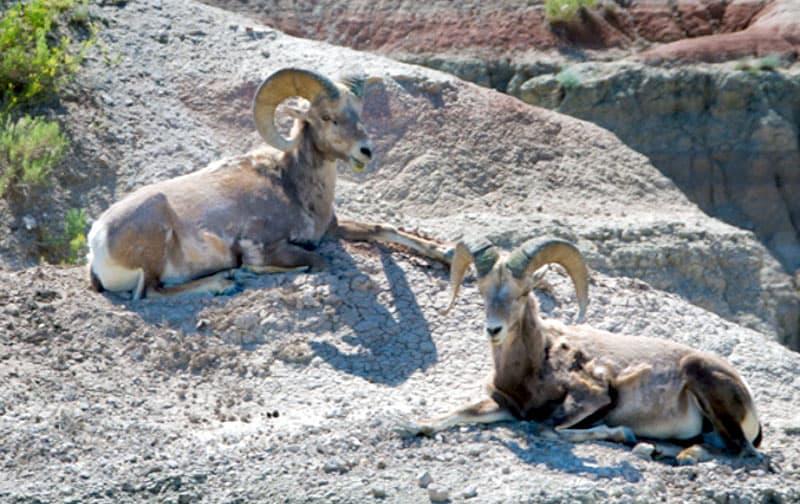 Badlands Ram Sheep