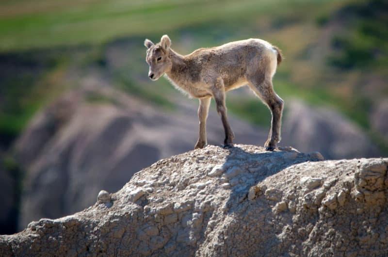 Badlands National Park lamb