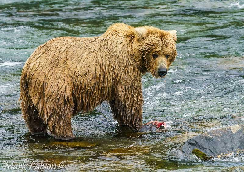 Alaska Trip 2017 Bear