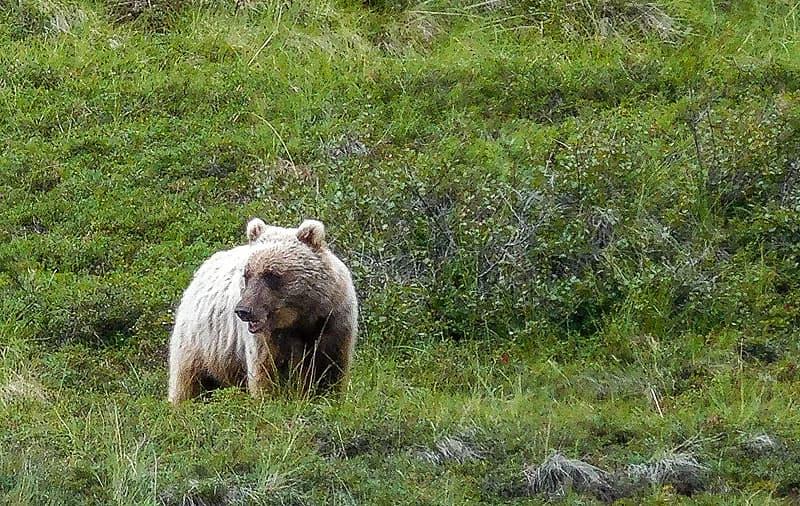 Alaska-Grizzly