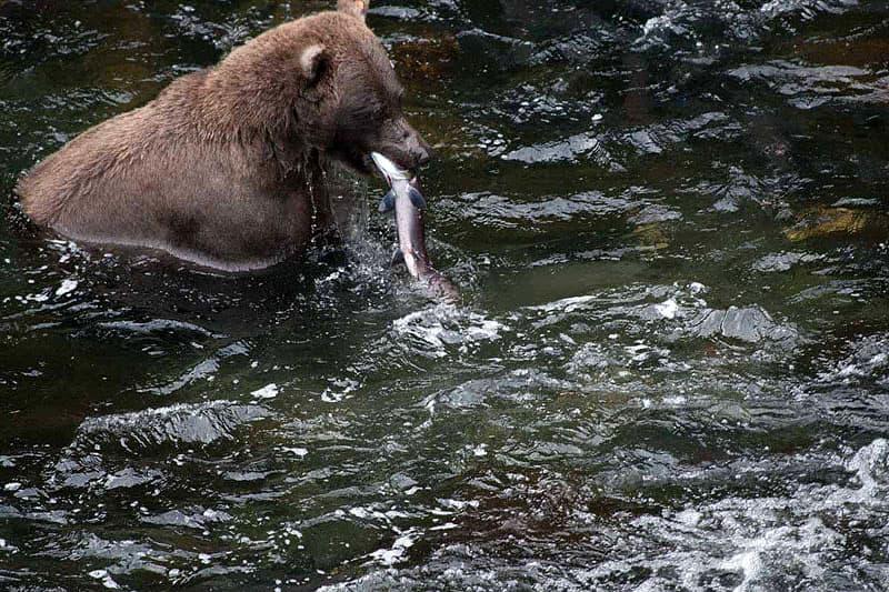 Alaska-bears-Berquam