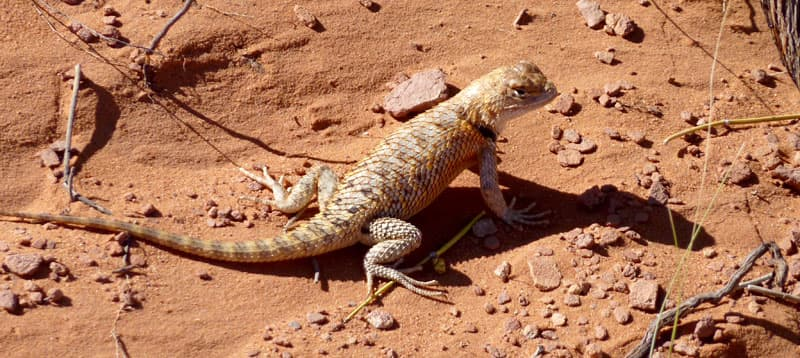 Alfred the lizard from Monument Valley