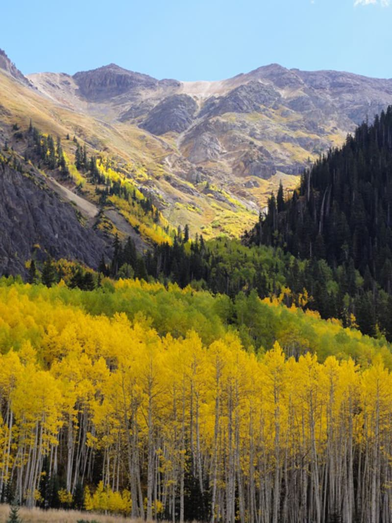 Aspen trees on the mountain