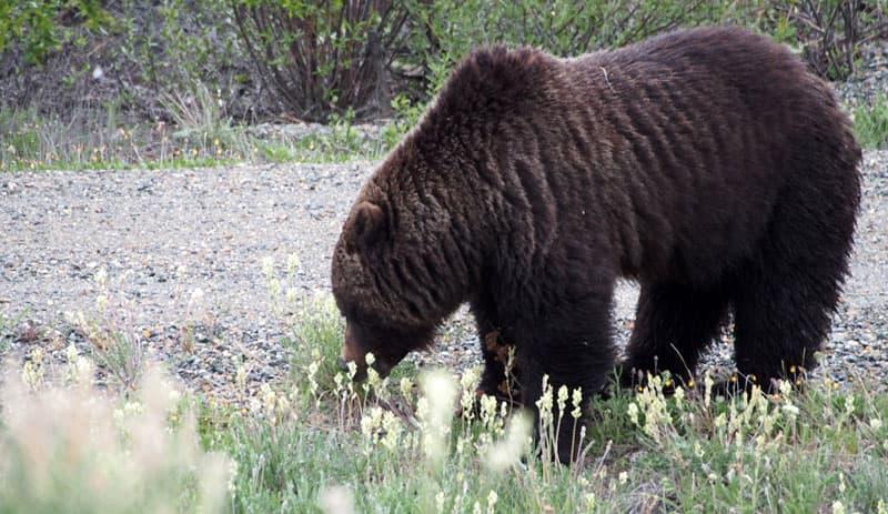 Bear in the Yukon