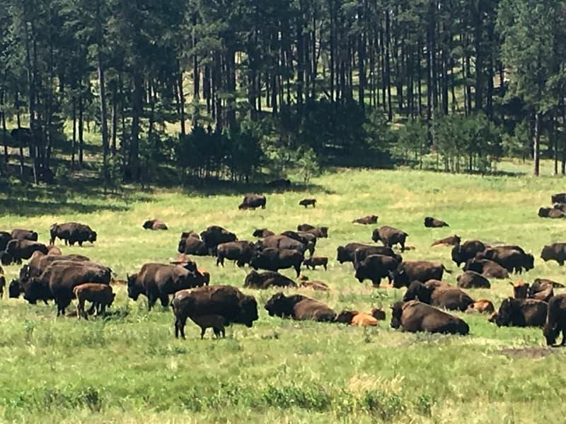 Bison Herd Black Hills South Dakota