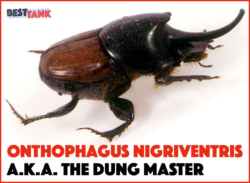 Black-Tank-Beetles-Onthophagus Nigriventris
