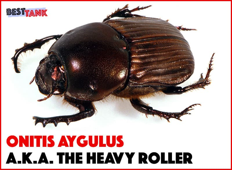 Black-Tank-Beetles-Beetle2