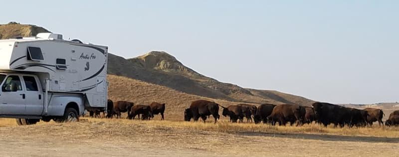 Buffalo Came Into Campground