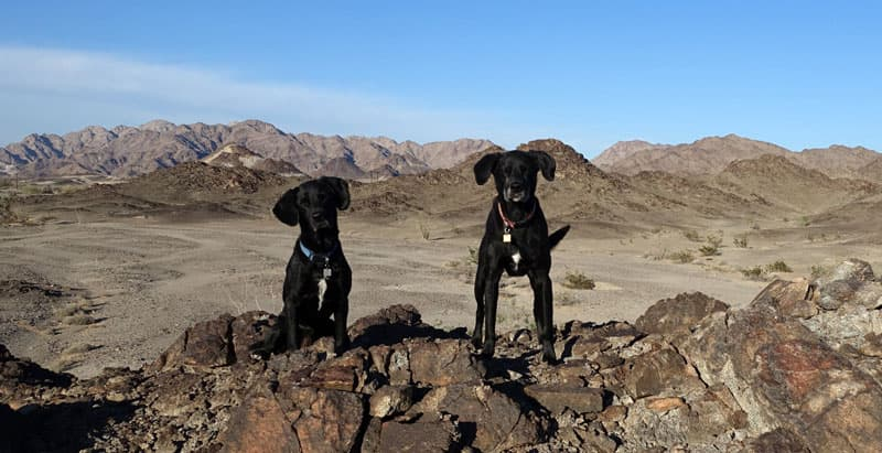 California desert dogs