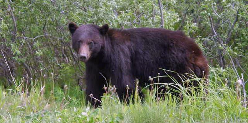 Cassiar Highway British Columbia Bear