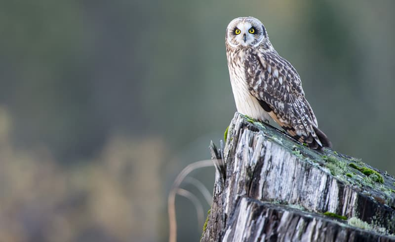 Chris-McKillican-Short-Ear-Owl-