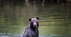 Chris-McKillican-bears-Bella-Coola-2
