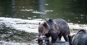 Chris-McKillican-bears-Bella-Coola-3