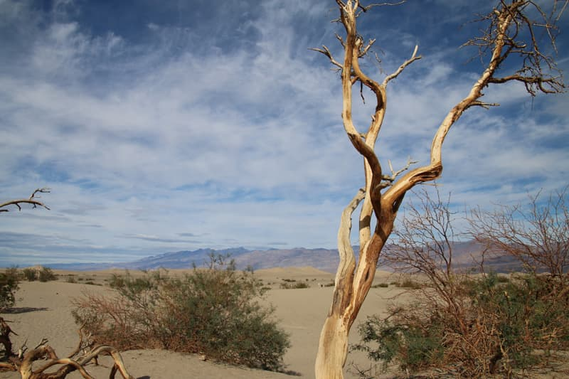 Death Valley tree