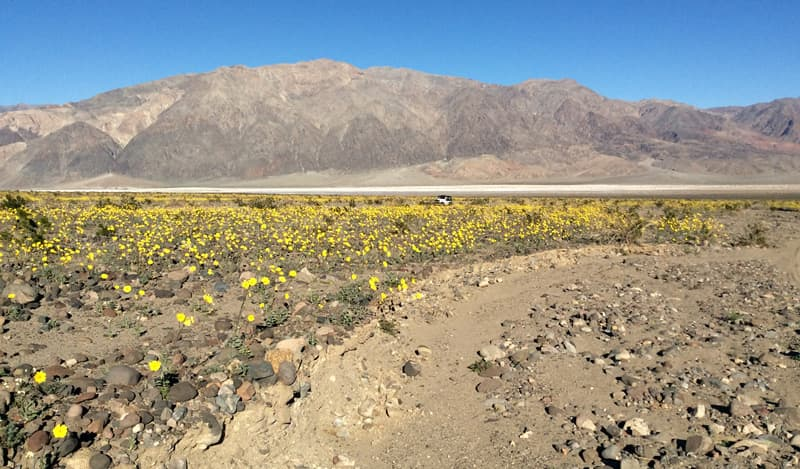 Westside Road past Badwater where the flowers are Desert Gold