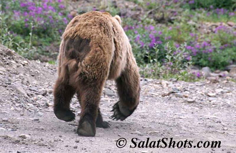 Denali Professional photography permit bear