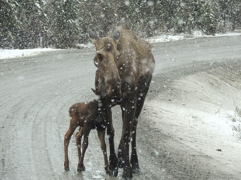 Denali Cow Moose And Calf Dash Cam