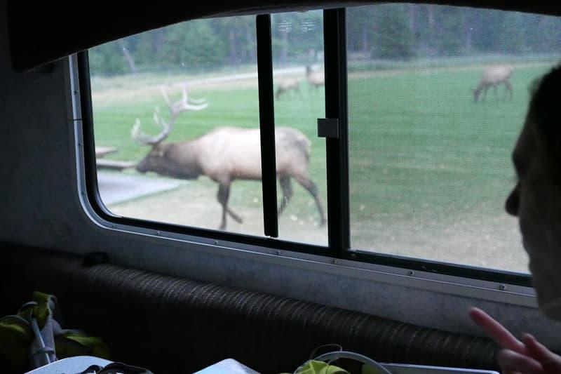 Elk outside Lance camper