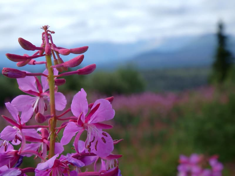 Fireweed along the Haines Highway in British Columbia