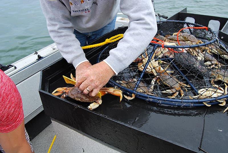 Crab measuring