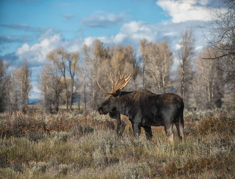 Moose at Grand Teton National Park